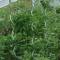 Tomatspiral - 170cm - 5stk